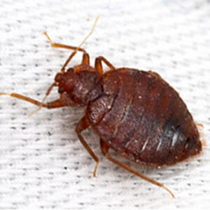 bedwantsen - WHAT ARE BED BUGS? CAUSES AND PREVENTION (+ TIPS AGAINST BED BUGS)
